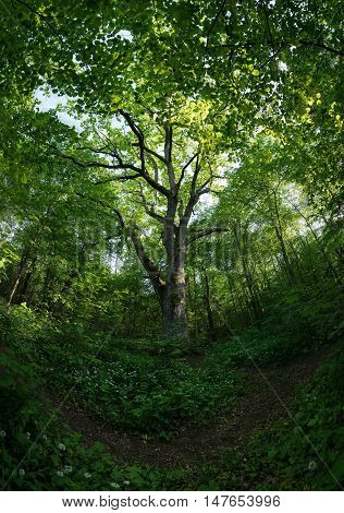 Very old oak tree in the forest on the spring. Wood and white blooming flower in natural environment. Allium ursinum blossom Wild garlic bloom. Puhtulaid Puhtu Estonia Eeurope