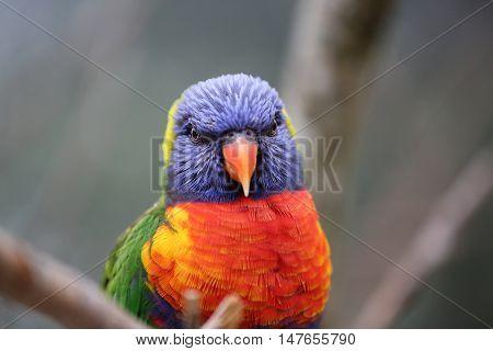 Beautiful Rainbow Lorikeet Parrot Head Close Up