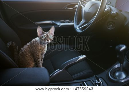Adorable cat is sitting inside a car on the drivers seat. Devon rex cat likes to travel in a car. Light flare car interior and cute kitty. Traveling with pets. Animal in a car. Copy space for your information or advertising content