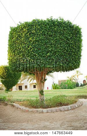 Topiary tree in the form of a cylinder in the garden