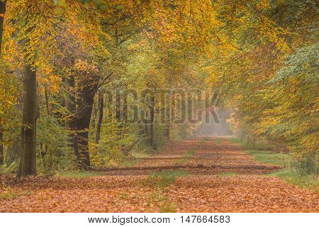 Autumn Lane With Warm Colored Yellow Beech Trees