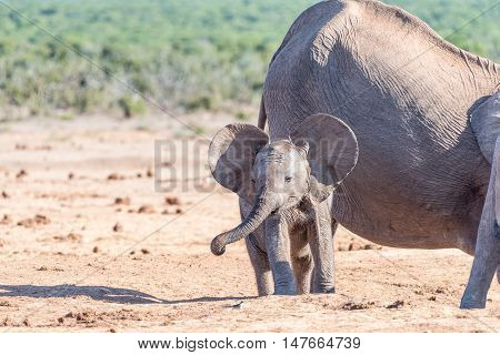 A young African Elephant calf Loxodonta africana flapping ears