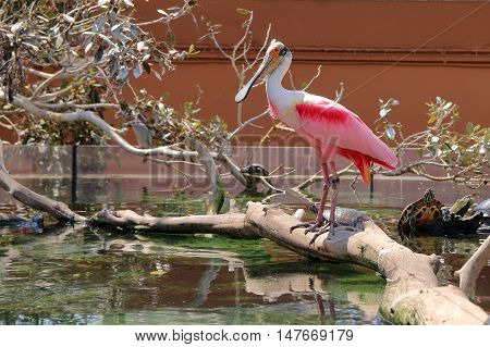The picture was taken in Spain in the aquarium of the city of Valencia. In the picture a bird - pink spoonbill resting on wooden driftwood. Around floating bog turtle.