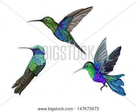 Hummingbird (colibri) vector illustration bird, colibri birds set