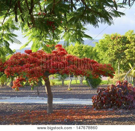 Blooming Flame tree (Flamboyant) in the park of Tenerife,Canary Islands,Spain.