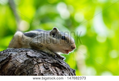 Indian Squirrel resting on tree trunk with its mouth open on green background