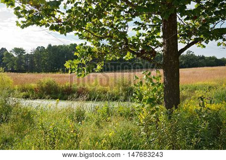 landscape of maple tree and algae covered pond on prairie of tall grasses and native plants in chaska minnesota