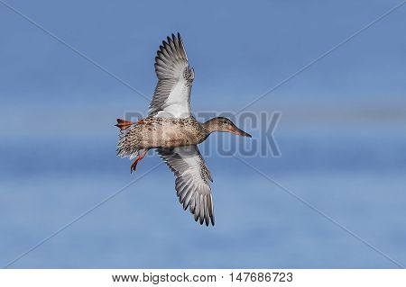 Northern shoveler (Anas clypeata) in flight with blue skies in the background