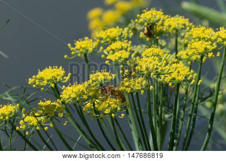 Honeybee collecting nectar from organic fennel plant flowers