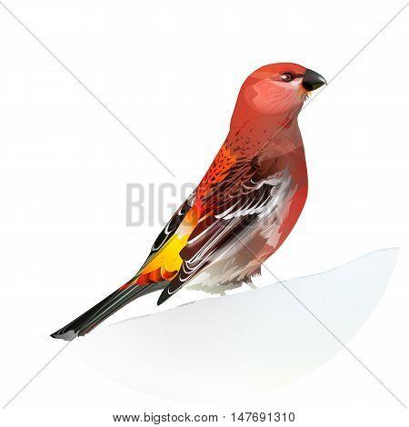 Red bird. Pine Grosbeak isolated vector illustration