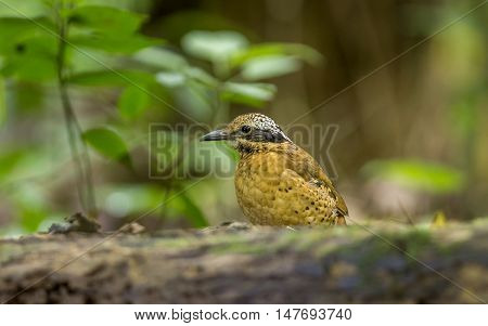 Eared Pitta in the forrest : Bird in thailand