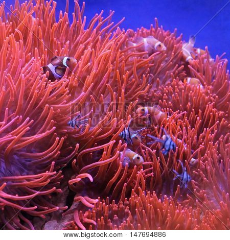 Percula Clown Fish in Orange Polyps at Coral Reef
