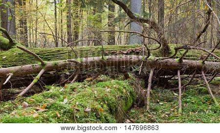 Deciduous stand of Bialowieza Forest in springtime with partly dead broken oak in foreground, Bialowieza Forest, Poland, Europe