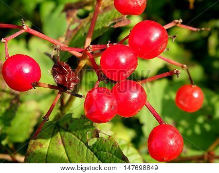 viburnum berries , bunches of red viburnum berries on a branch
