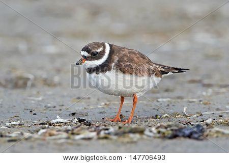 Ringed plover (Charadrius hiaticula) standing on sand in ite habitat