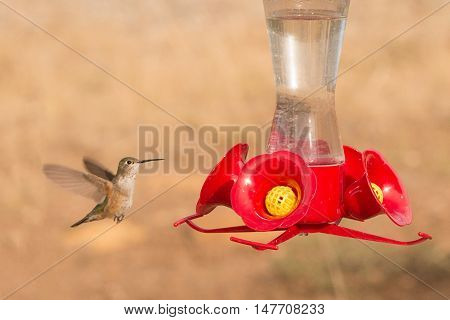 Calliope Hummingbird in Colorado finding nectar in a feeder