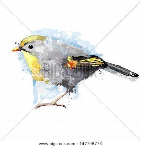 watercolor illustration art bird. pekin robin, watercolor bird