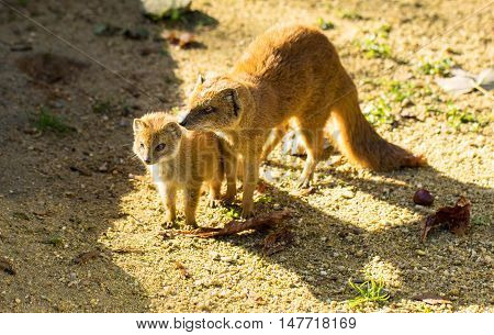 Yellow mongoose baby and his parent on the ground