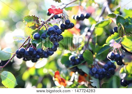 Aronia berries. Ripe fruit on the branches of a bush chokeberry