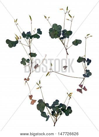 Application Leaf Oxalis Set