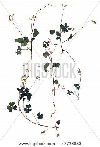 application leaf oxalis set dry delicate pressed multicolor green leaves and small flowers isolated on white background