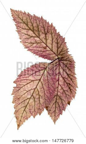 stone berry set dry delicate pressed multicolor leaves isolated on white background