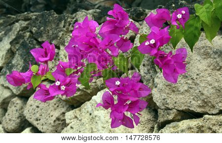 Bougainvillea flowers on a stone background close up.Selective focus.