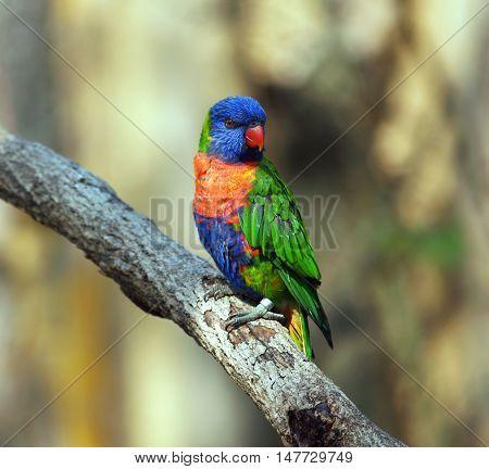 Rainbow lorikeet parrot sitting on the branch - Trichoglossus moluccanus