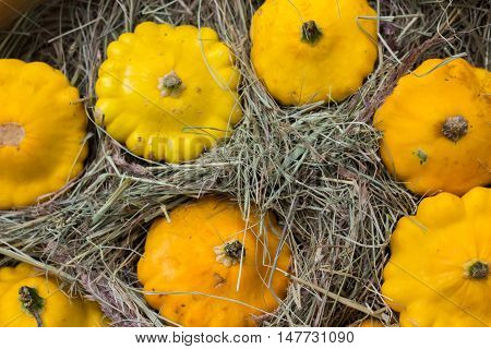 yellow Patty Pan squash displayed at farmer's market. Pumpkin cucurbit