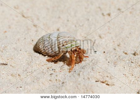 Hermit Crab on a caribbean beach in Dominican Republic poster