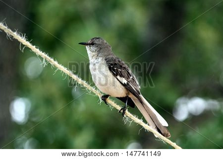 Mockingbird sitting on rope stretched between trees, with green trees in background.