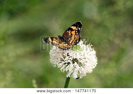 Silvery checkerspot butterfly sitting on white wildflower in green country field.