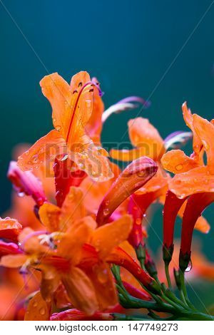 Aeschynanthus Or Lipstick Plant