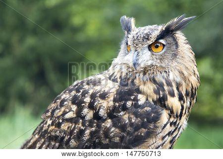 Closeup of a Eurasian eagle-owl (Bubo bubo) also called European eagle-owl. Outdoors. Shallow deep of field focus on her eye.
