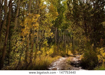 Golden aspen leaves line a muddy trail in the mountains