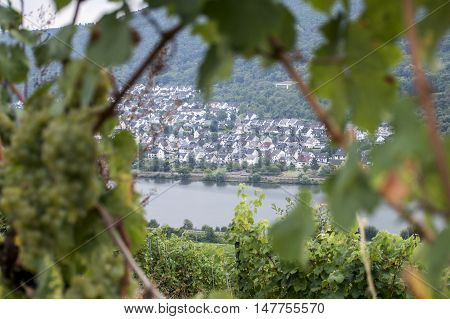 white Wine grapes in the german Region Moselle River Winningen 14
