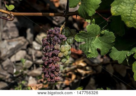 white Wine grapes in the german Region Moselle River Winningen 9