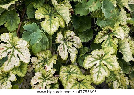 Leaves of Wine Region Moselle River Background