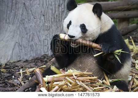 giant panda bear eating bamboo in the zoo