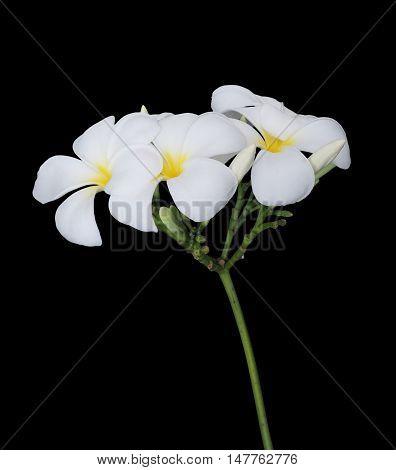 White plumeria flower isolated on black background