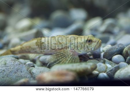 European bullhead (Cottus gobio). Wildlife animal.