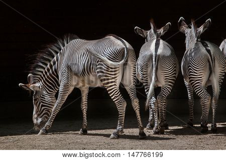 Grevy's zebra (Equus grevyi), also known as the imperial zebra. Wildlife animal.
