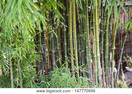 close up fresh green bamboo tree in garden