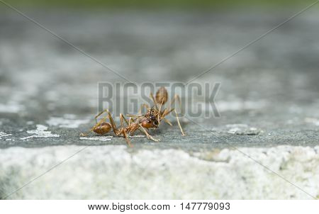 Weaver Fighting With Little Black Stinging Ant.