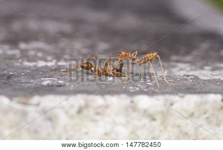 Weaver fighting with little black stinging ant calling for help when small black ant attaches itself to the antenna of the larger red ant. showing co-operation and understanding between ant colonies.