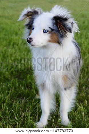 Australian puppy