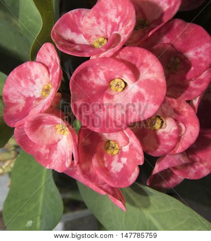 Desert Rose Plant Native To Asia Showing Waxy Strong Flower Petals And Defenses Against Insect Attic