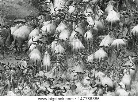 Black & white close up of a herd of wildebeest crossing the mara river in Kenya