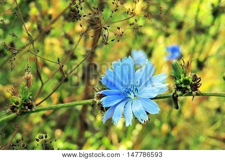 Chicory In The Field