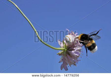Crab spider eating bumblebee